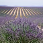lavender growing in field