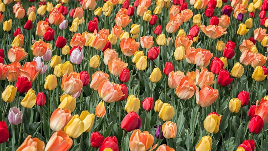 field of multi-colored tulips